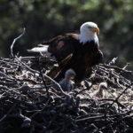 Águila con sus crías
