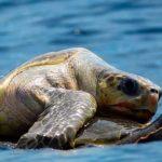 Especie de tortuga marina