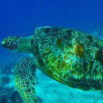 Tortuga carey en el fondo marino