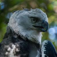 Especies de águila
