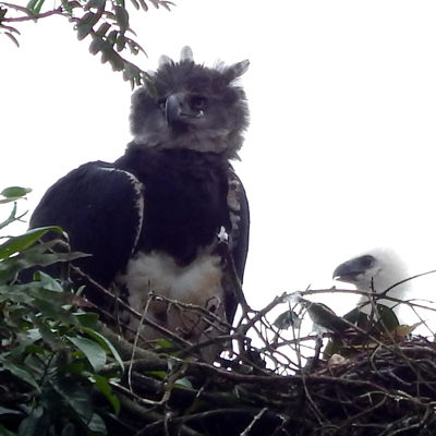 Especie Águila Harpía