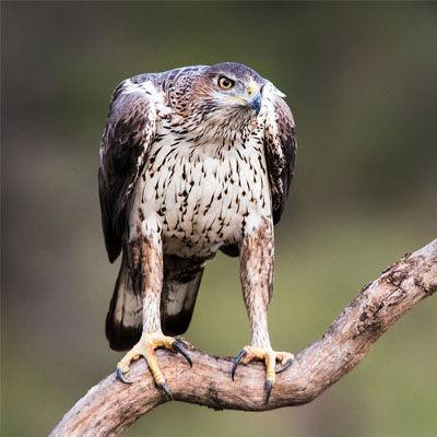 Especie Águila Perdicera