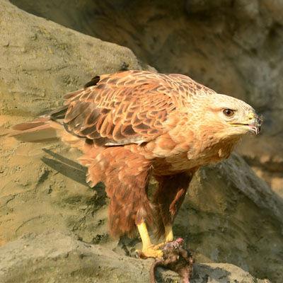 Especie Águila Real