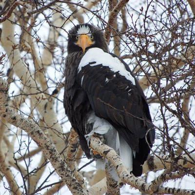 Especie Águila de Steller