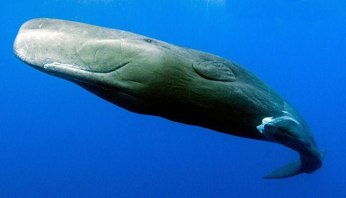Especie ballena Cachalote