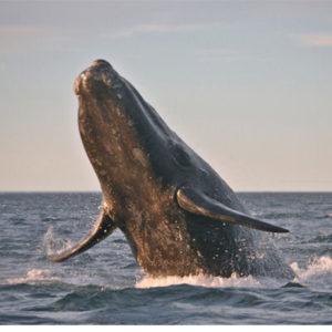 Especie ballena gris