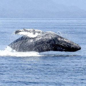 Especie ballena jorobada