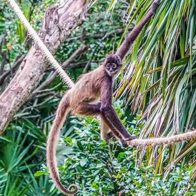 Tipo de mono araña