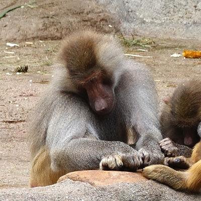 Especies de monos babuinos