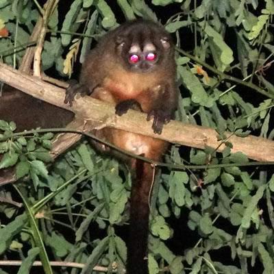 Mono micos nocturnos