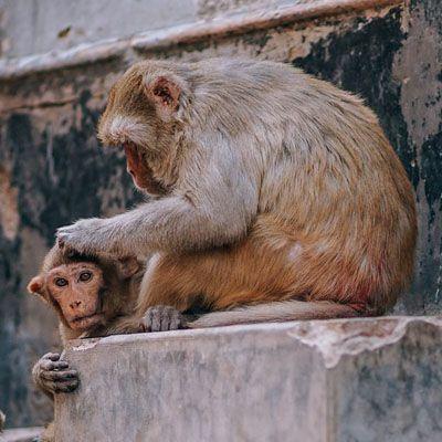 Especie de monos macacos
