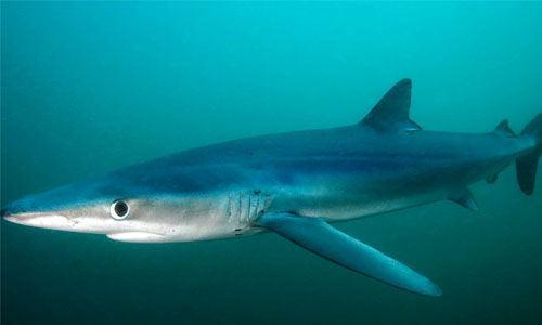 Tipo de tiburón azul