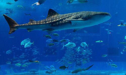 Especies o tipos de tiburones