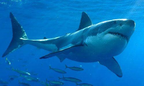 Especies de tiburón blanco