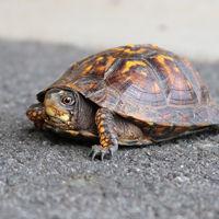 Especies de tortuga