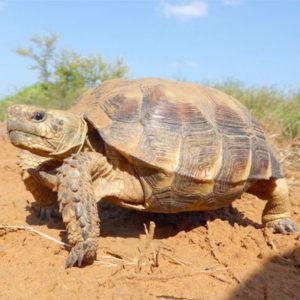 Especie tortuga del desierto