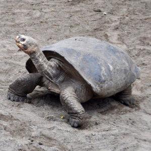Especie tortuga gigante