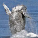 Otra ballena jorobada