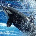 Otra orca