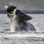 Vistoso salto de ballena