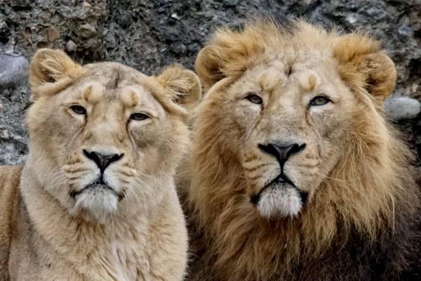 Pareja de leones asiáticos