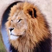 Especie de león