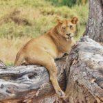 imagenes del leones