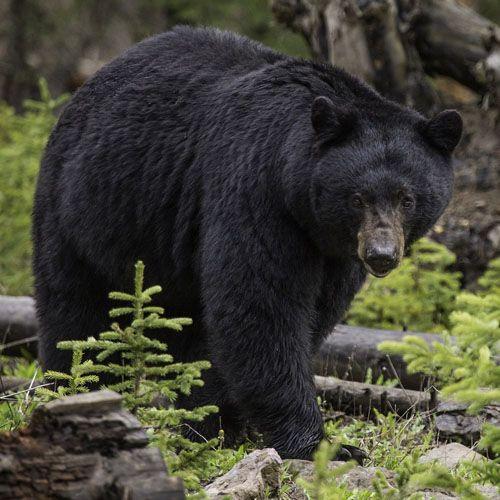 Tipo de oso negro