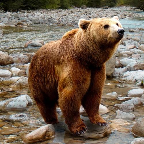 Especie de oso pardo