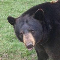 Especies de oso