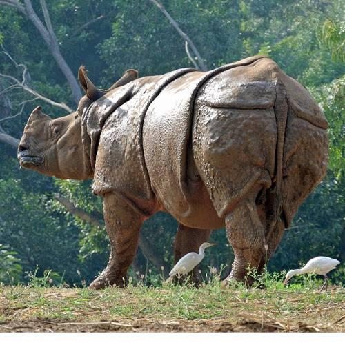 Especie rinoceronte indio