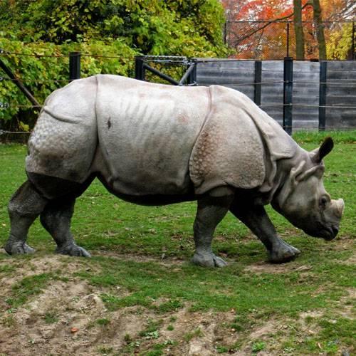 Especie rinoceronte de java