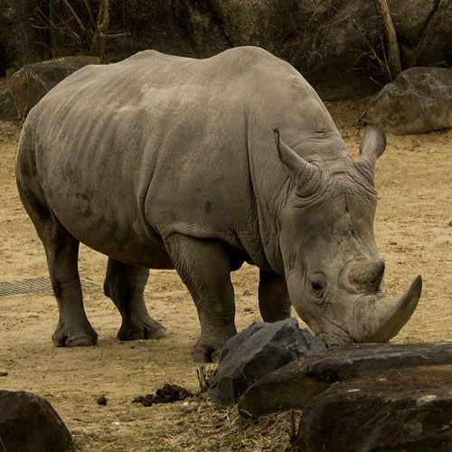 Especie rinoceronte negro