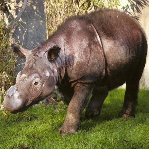 Especie rinoceronte de sumatra