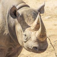 Especies de rinoceronte