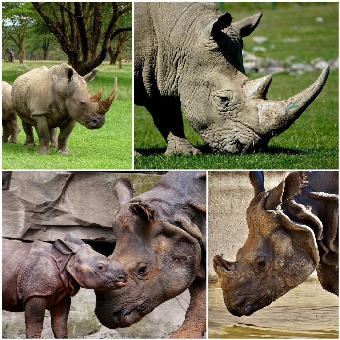 tipos de rinocerontes