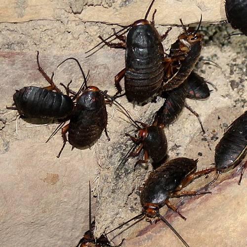 Especie cucaracha común