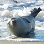 Especie de foca moteada