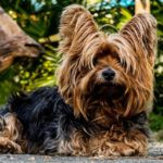 Tipo perro Yorkshire terrier