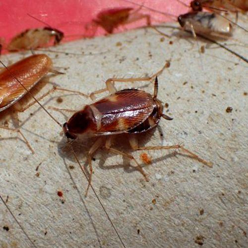 Cucaracha de banda marrón