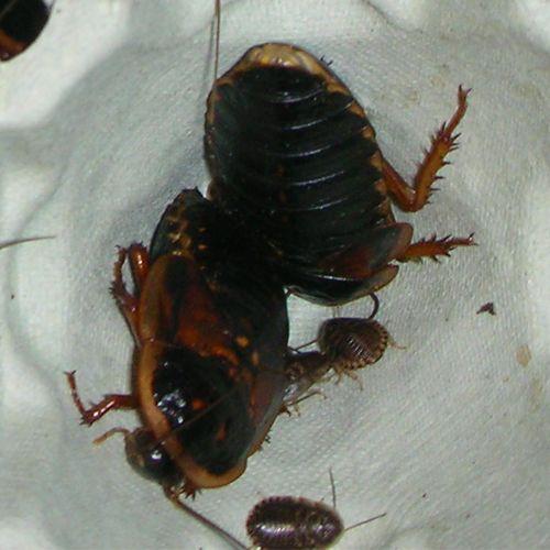 Cucaracha dubia