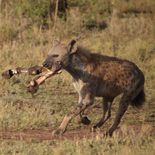 Tipo de hiena manchada