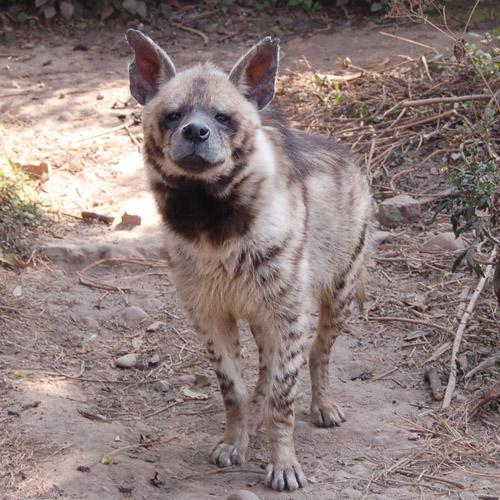 Especie de hiena rayada