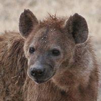 Especies de hienas
