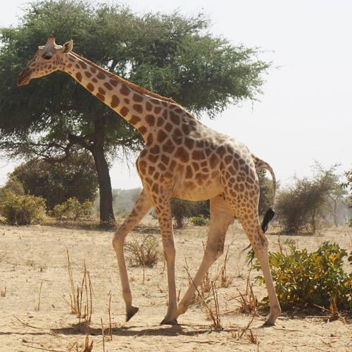 Jirafa de áfrica occidental