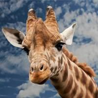 Especies de jirafas