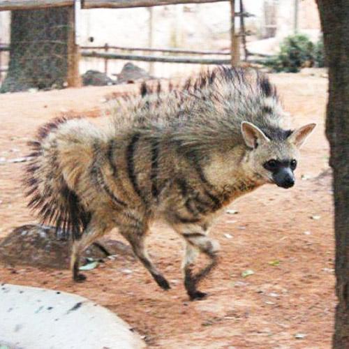 Lobo de tierra