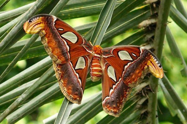 Tipo de mariposa atlas
