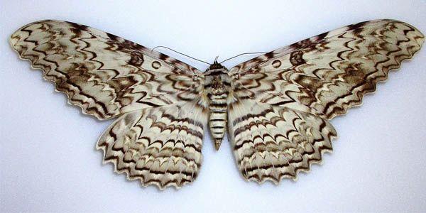 Mariposa emperador