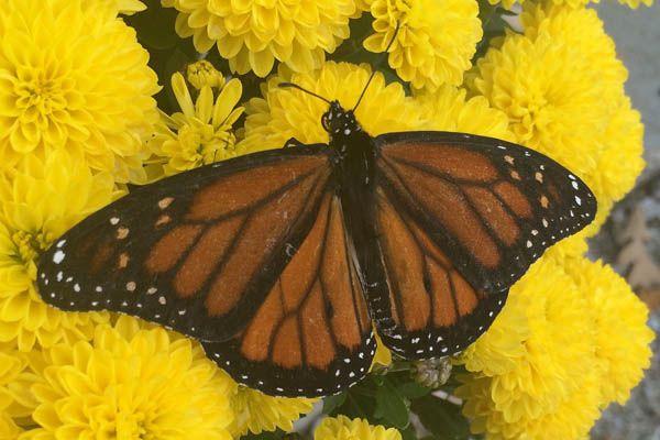 Especie de mariposa virrey